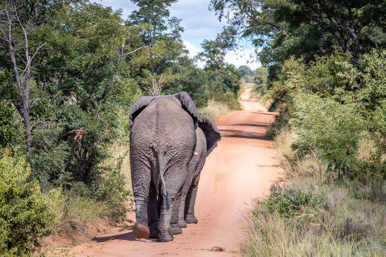Rear view of elephant walking in forest
