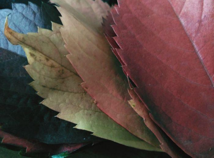 Fulles Tardor/Autumn Tardor Autumn Leaves Colors Of Autumn Autumn🍁🍁🍁 Otoño 🍁 Colores De Otoño Leaves_collection Colored Leaves Fulles De Tardor