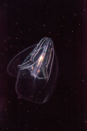 Comb jelly Phylum Ctenophora do not have stinging cells and have a simpler reproductive system than most jellies. Ctenophora Animal Themes Close-up Comb Jelly Comb Jellyfish Glowing Irridescent Marine Life No People Ocean Sea Sea Life Swimming