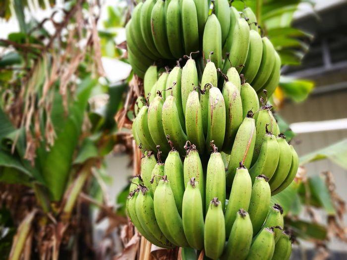 Low angle view of bananas growing on tree