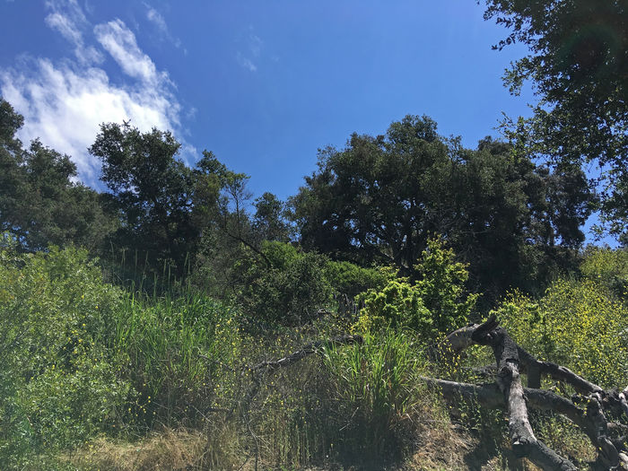 Blue sky with some clouds over the wild coastal foothills in Santa Barbara at springtime Tree Plant Sky Growth Nature Tranquility Beauty In Nature Land Forest Tranquil Scene No People Day Scenics - Nature Outdoors Environment Sunlight Green Color Non-urban Scene Blue Landscape