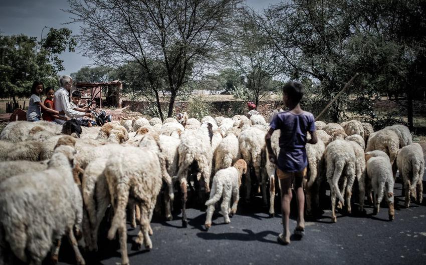 Shepherd with flock of sheep on road