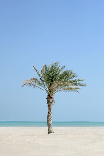 Palm Tree At Beach Against Clear Blue Sky