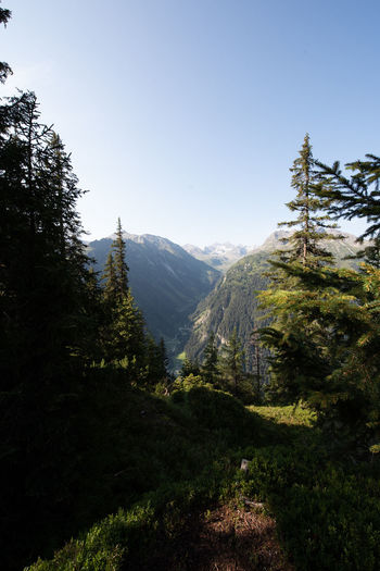 Scenic view of pine trees against clear sky