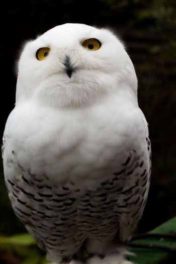 Staring contest Alertness Bird Close-up One Animal Owl Perching Snow Owl Staringcontest White White Color Zoology