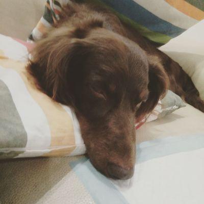 Dachshund Pets Dog Dachshundlovers Dachshundsofeyeem Dachshundoftheday Ilovemydog Puppy Puppy❤ Puppypower