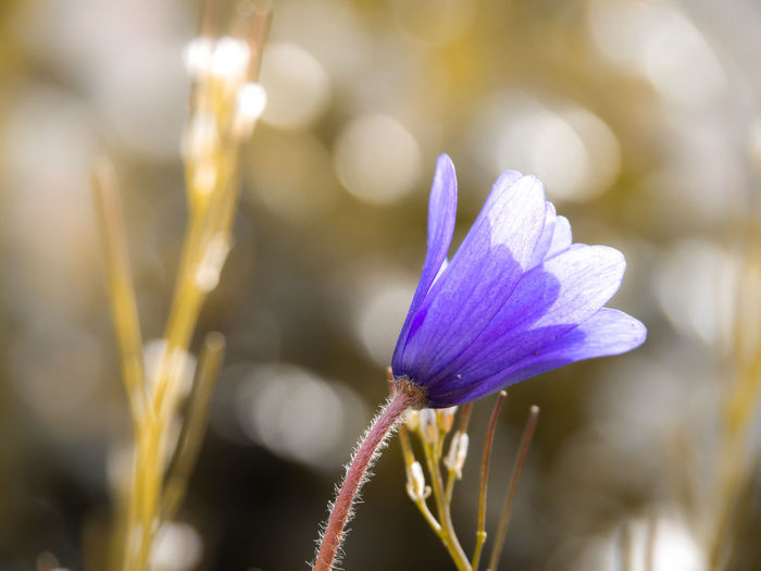 Beauty In Nature Close-up Day Flower Flower Head Flowering Plant Focus On Foreground Fragility Freshness Growth Inflorescence Nature No People Petal Plant Plant Stem Purple Selective Focus Sepal Vulnerability
