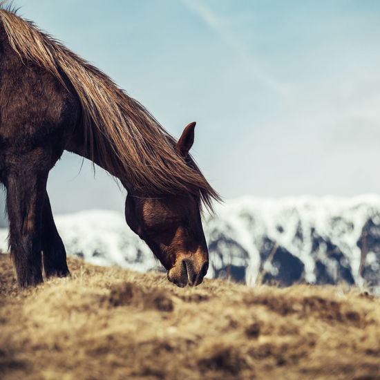 Horses Animal Head  Animal Themes Brown Close-up Day Domestic Animals Field Foal Focus On Foreground Grass Grazing Herbivorous Horse Livestock Mammal Mane Nature No People One Animal Outdoors Paddock Side View Sky Standing