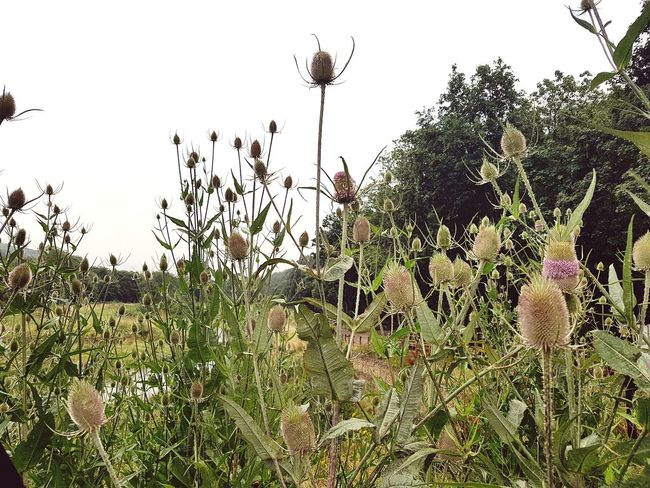 Outdoors Tree Nature Plant Day No People Growth Sky Beauty In Nature Grass Water Flower Sommergefühle Teasel Thistle Teasel Plants Flowers Landscapes Plants And Flowers Yorkshire Sowerby Bridge Copley Nature Reserve Landscape Plant
