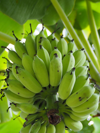Bunches of green bananas. EyeEm EyeEm Nature Lover Green Bananas Bananas Beauty In Nature Close-up Day Focus On Foreground Food Food And Drink Freshness Fruit Green Color Growth Healthy Eating Nature No People Outdoors Plant Tree Unripe
