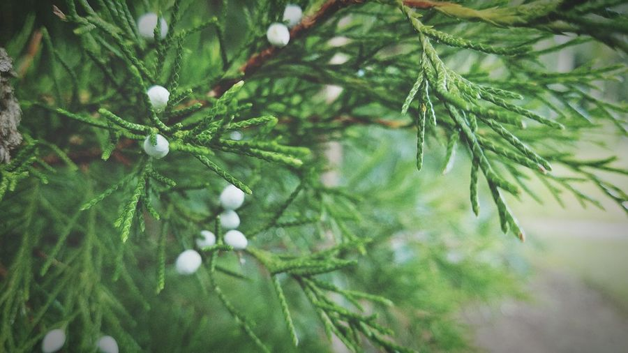 Nature Green Color Growth Pine Tree Leaf Tree Pinaceae Close-up Beauty In Nature Needle - Plant Part Plant Branch Cold Temperature Day Outdoors No People Winter Needle Freshness Fragility EyeEmNewHere The Week On EyeEm