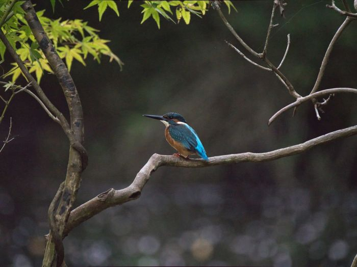 """Happy blue bird""""Kingfisher"""" Simple Quiet Love Bird Photography Japan LEICA DG VARIO-ELMAR 100-400 Lumix G9 Bokeh Tranquil Scene Tranquility No People Outdoors Close-up Beauty In Nature Nature カワセミ Animals In The Wild Animal Themes Day Tree Blue Kingfisher Focus On Foreground Bird EyeEm Selects"""