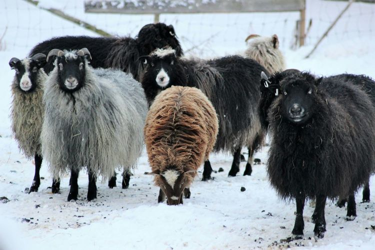 Animal Themes Flock Of Sheep Winter Snow Domestic Animals Nature DayBeauty In Nature Winter_collection Nature_collection Winter Nature Photography Eyemgallery Outdoors Eyemnaturelover Sheeps Hairy