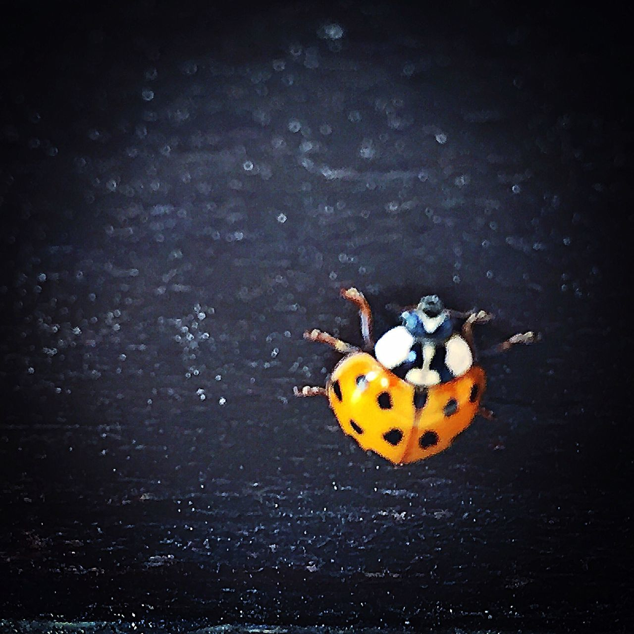 ladybug, insect, animal themes, no people, animals in the wild, one animal, close-up, tiny, outdoors, day, nature