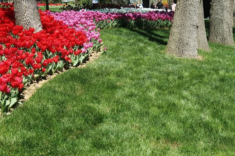 View of red flowering plants in park