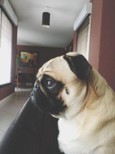 Pug Love Pug Pug Life  Pets One Animal Domestic Animals Dog Animal Themes