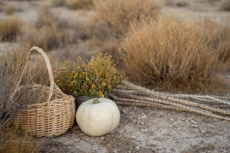White pumpkin, wildflowers, dried cactus, basket in mojave desert autumn