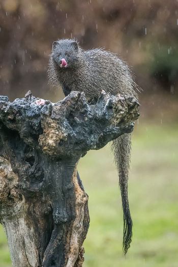 Herpestes Ichneumon Animal Themes Animal Wildlife Animals In The Wild Close-up Day Focus On Foreground Mammal Nature No People One Animal Outdoors Squirrel Tree Water