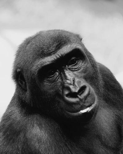 Gorilla ( Ein Ausdruck von Zufriedenheit ) Gorilla Portrait Ape Primate Close-up Representing Carp Animal Nose Snout Animal Eye Time Period Animal Head  Animal Hair Whisker Animal Face Adult Animal At Home Animal Ear Animal Mouth Willow Tree Zoo Baboon Introspection Animals In Captivity Thoughtful Animal Body Part Mug Shot The Portraitist - 2018 EyeEm Awards