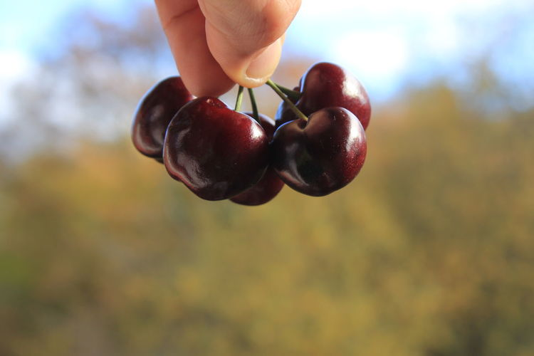 Healthy Lifestyle Exceptional Photographs Healthy Food Natural Good Morning Fruitporn Cherries🍒 Human Body Part Fruit Nature Holding Human Hand Close-up Healthy Eating Freshness Cherry Cherries Fruits Fresh Produce Vitamins Healthy Vitality Eating Food Cerise