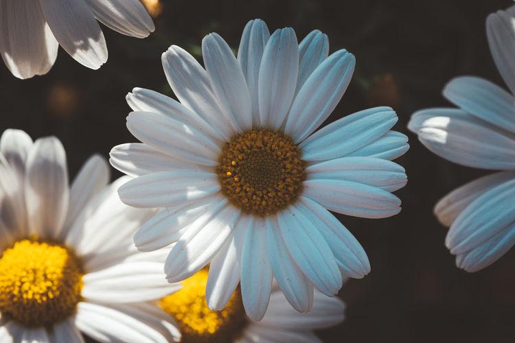 Close-up of white daisy