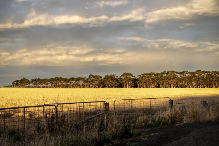 Sunset at Lake Bolac, Victoria. Gate Golden Agriculture Barrier Beauty In Nature Boundary Cloud - Sky Crop  Day Environment Fence Field Golden Hour Grass Land Landscape Nature No People Outdoors Plant Rural Scene Scenics - Nature Sky Tranquil Scene Tranquility