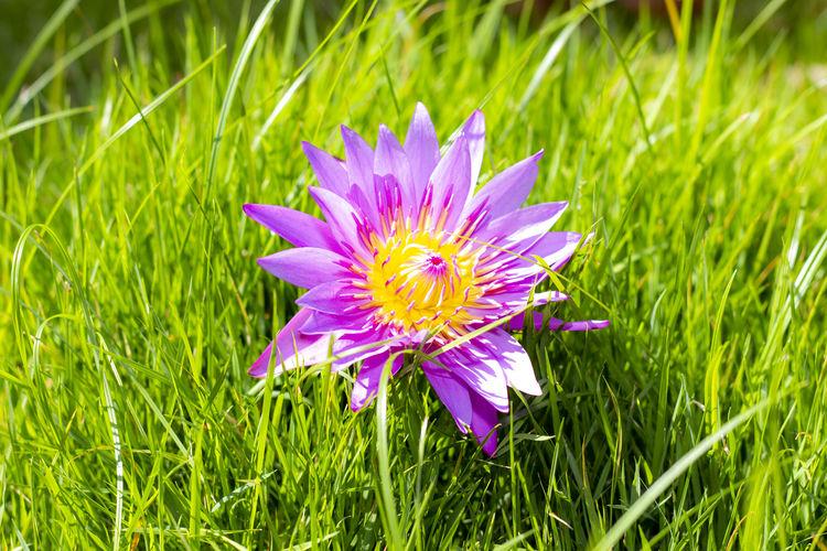 Lotus on grass