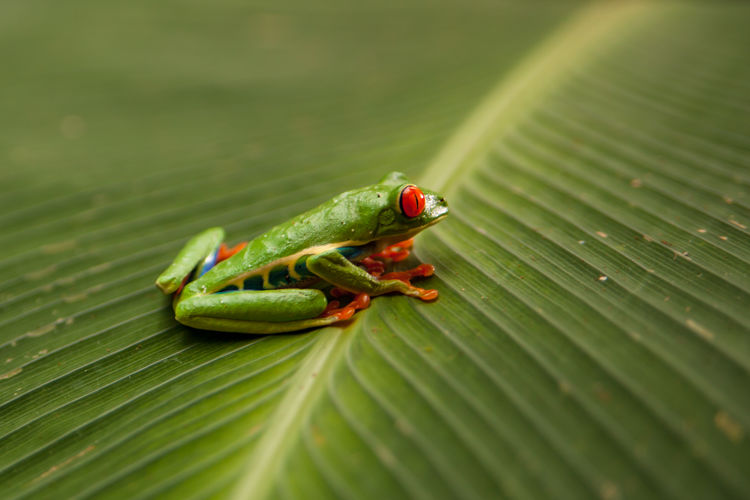 Costa Rica - January 2019 Leaf Plant Part Green Color Animal Wildlife Animals In The Wild Animal One Animal Animal Themes Close-up Nature Plant No People Day Outdoors Leaves Amphibian Frog Tree Frog Jungle Wildlife Tour Ecotourism My Best Photo
