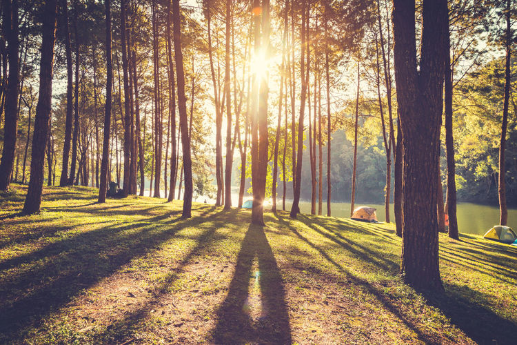 Tree Plant Sunlight Nature Tree Trunk Trunk Shadow Land Beauty In Nature Forest Day Tranquility Growth Tranquil Scene Park Sun Outdoors Scenics - Nature Lens Flare WoodLand Pine Tree Pine Wood Morning
