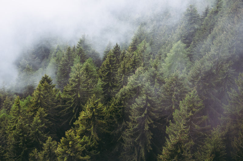 Plant Tree Forest Fog Beauty In Nature Land Coniferous Tree Growth Pine Tree Nature No People Scenics - Nature Environment Green Color Tranquility Tranquil Scene Evergreen Tree Day Non-urban Scene WoodLand Pine Woodland Outdoors Fir Tree Pine Wood Landscape