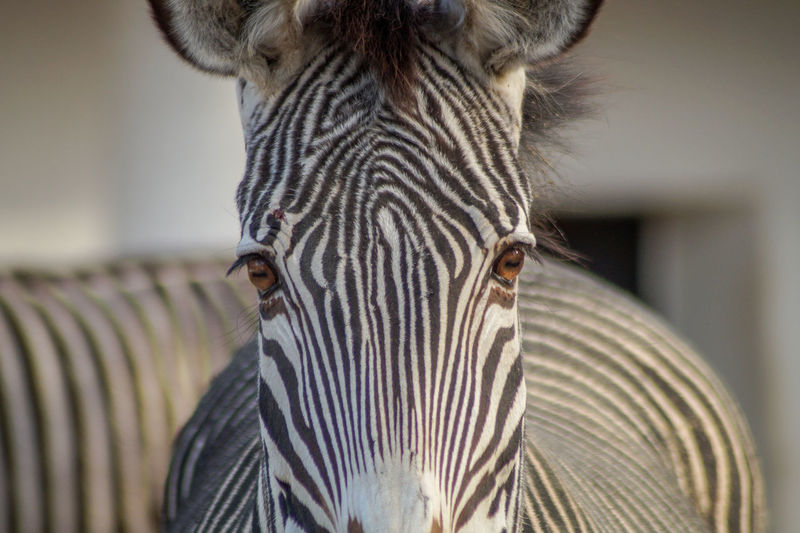 Portrait of a zebra Animal Themes One Animal Animal Animal Wildlife Animals In The Wild Mammal Striped Focus On Foreground Close-up Zebra Animal Head  Animal Body Part Portrait Looking At Camera No People Safari Vertebrate Day Animal Markings Animal Eye Herbivorous