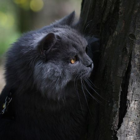 Duman Cat Kedi British longhair cute sweet baby boy playboy ears yellow eyes follow takip