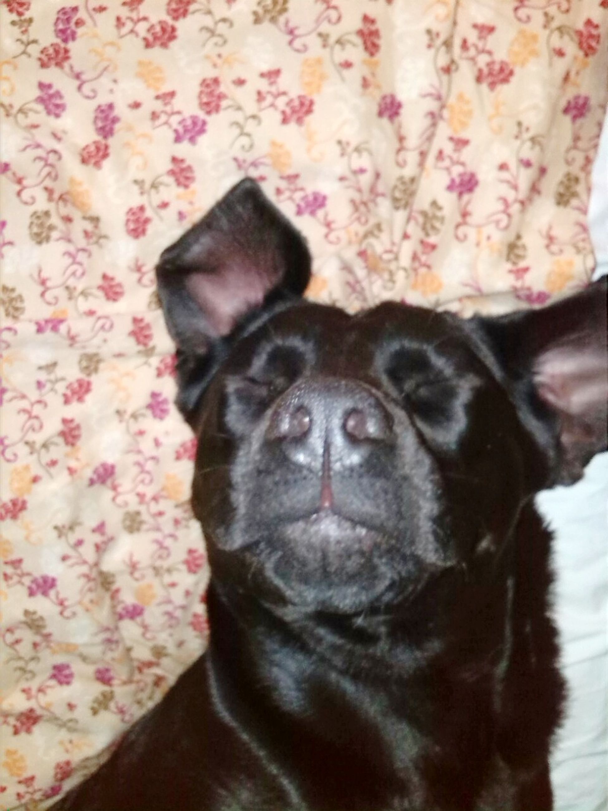 pets, looking at camera, one animal, animal themes, portrait, domestic animals, mammal, dog, indoors, no people, close-up, boston terrier, day
