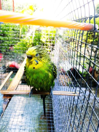 Just after a bath🐥😄Mr. Greeny😙😙 Budgerigar My Favorite  Pets Of Eyeem Check It Out Beauty In Nature Outdoors Close-up Rainbow Lorikeet Sunnyday🌞 Eye Em Selects Tranquility Moments EyeEm Team Check This Out 😊 Enjoying The View Green Bright Colors EyeEm New Here EyeEmbestshots Tranquillity Budgie Collection Eye Em Select World Growth Relaxing Sunbathing
