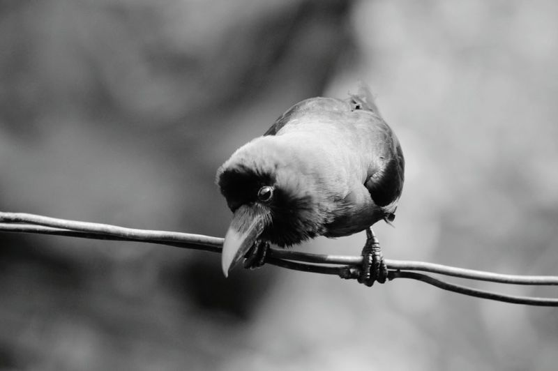 Close-Up Of Crow Perching On Cable