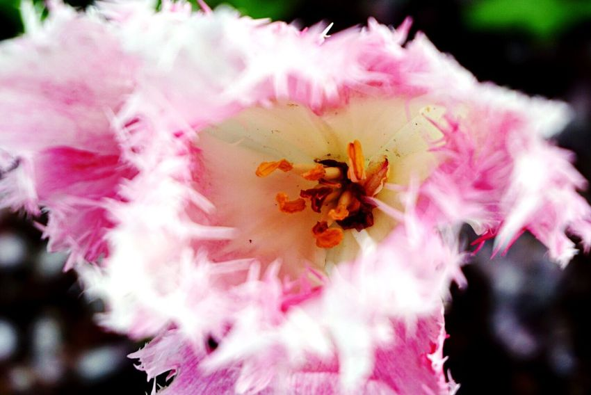 Flower Flower Head Pink Color Beauty In Nature Close-up Nature Outdoors Good Like EyeEm Best Shots Love ♥ Followme EyeEm Day Eye4photography  Happiness Likeforlike Photo Flower Collection Flowers Flower Photography Flowers,Plants & Garden Growth Pollen Scenics