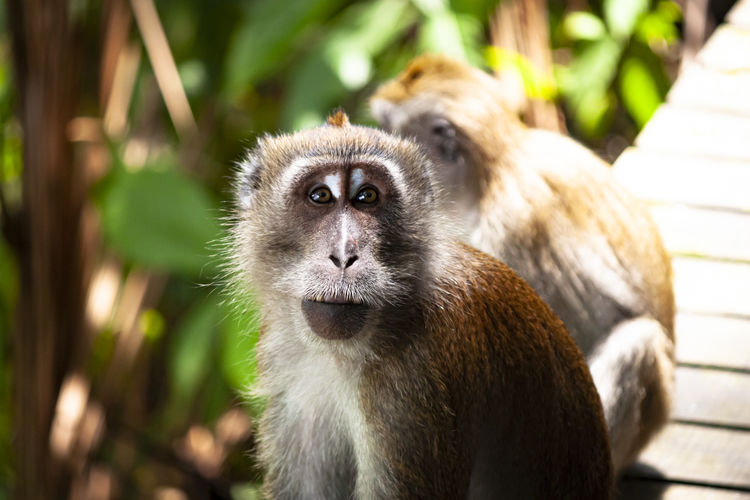 Long tailed macaque looking into the camera
