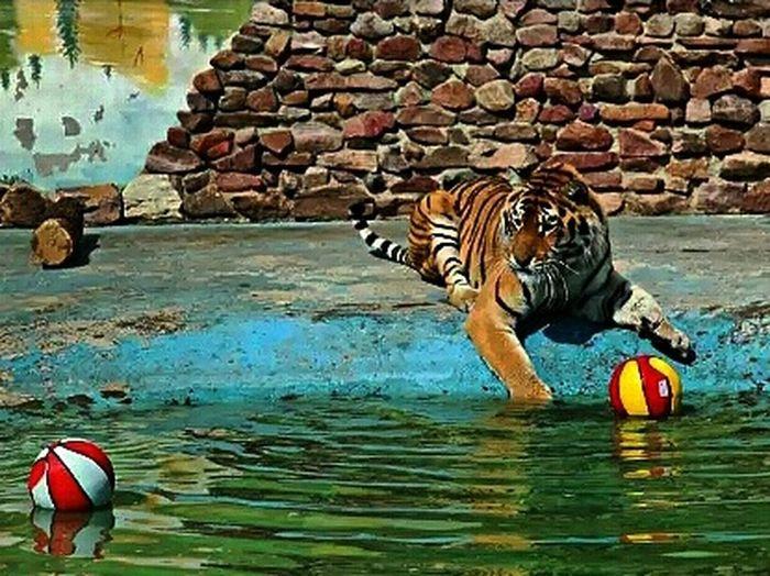 НижнийНовгород тигр тигруля игруля зоопарк зоопарк Лимпопо Taking Photos Zoo Animals  Tiger Playing