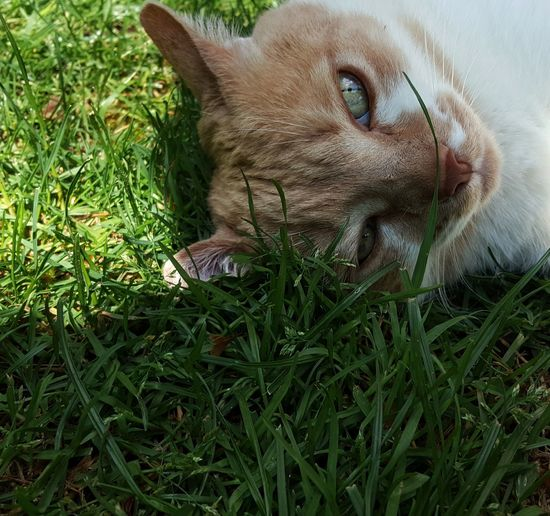 """""""The Eddie Tor"""" Animal Themes AntiM Cat Lying In The Sun Cat Portrait Cat Watching Me Cats Of EyeEm Close-up Day Domestic Animals Domestic Cat Eddie Tor Feline Grass Green Color Green Eyes Mammal Nature No People One Animal Outdoors Pets Portrait Pet Portraits"""