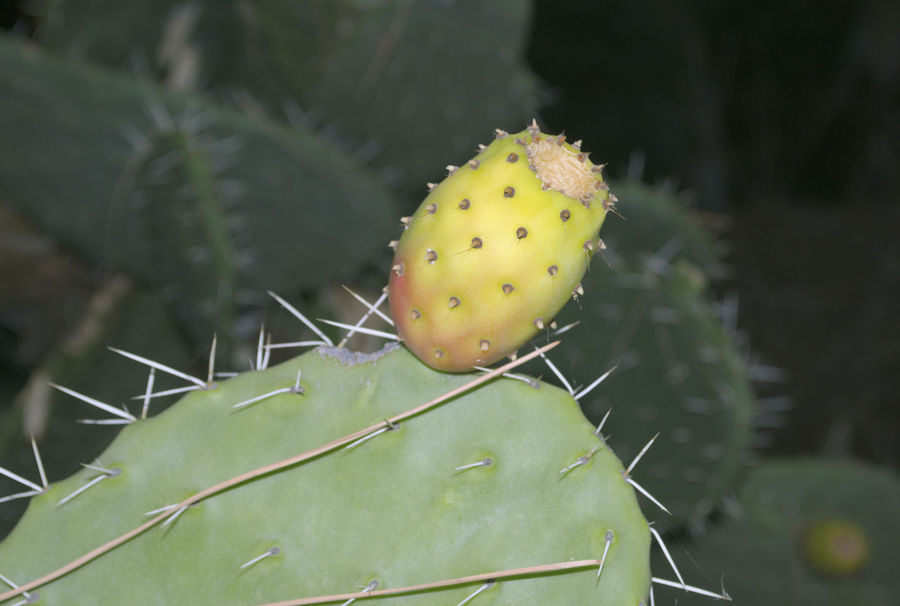 GROWING CACTUS FRUIT/PRICKLY PEAR Cactus Indian Fig Opuntia Ficus-indica Plant Prickly Pear Cactus Cactus Close-up Edible  Focus On Foreground Food Green Color Growth Leaf Nature No People Outdoors Plant Prickly Prickly Pear Prickly Pear Cactus Spiked Thorn