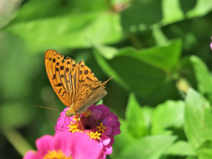 Slovenia Slovenia Scapes Animal Themes Animal Wildlife Animals In The Wild Beauty In Nature Butterfly Butterfly - Insect Close-up Day Flower Flower Head Focus On Foreground Fragility Freshness Growth Insect Leaf Nature No People One Animal Outdoors Perching Plant Pollination Spread Wings