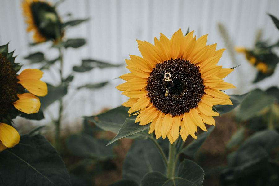 Sunflower Beauty In Nature Bee Fall Flower Focus On Foreground Macro Nature Yellow