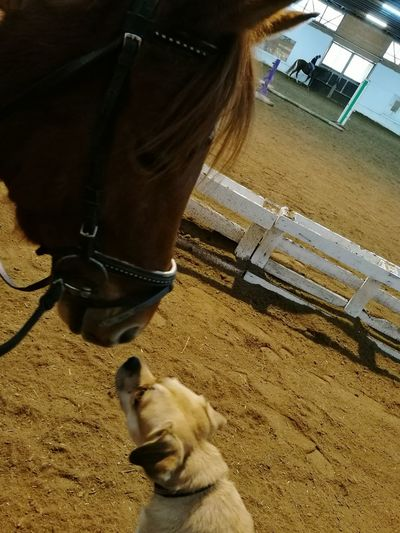 Pets Dog Domestic Animals Horse Animal Love Dog And Horses Friendship ❤ Hund Dogs Of EyeEm Chiens Mondains Dogs Pugglelife Dog Portrait Horses Pony❤️ Horse Photography  Friends ❤