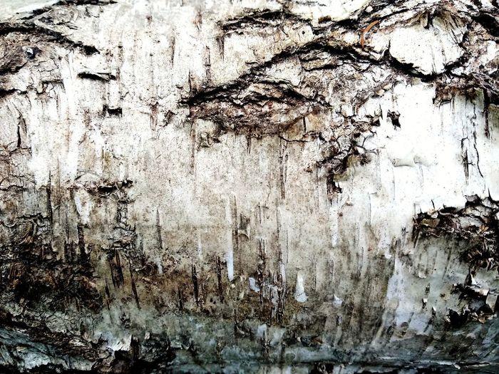 birch tree rind