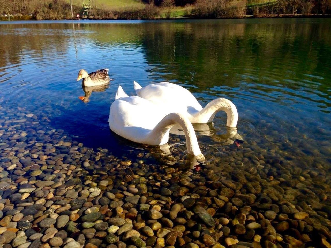 lake, water, swan, animal themes, animals in the wild, reflection, no people, nature, day, bird, outdoors, swimming, close-up