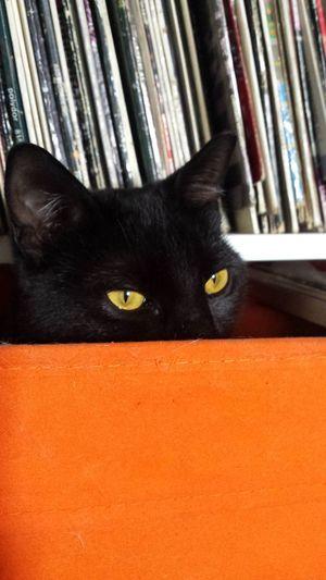 Black Cat Is Just So Beautiful. Black Cats Lovers Blackccat Eyes CatEyeEm Black Cat Photography Cat Photography Cat Eyes Catlovers Catofeyem