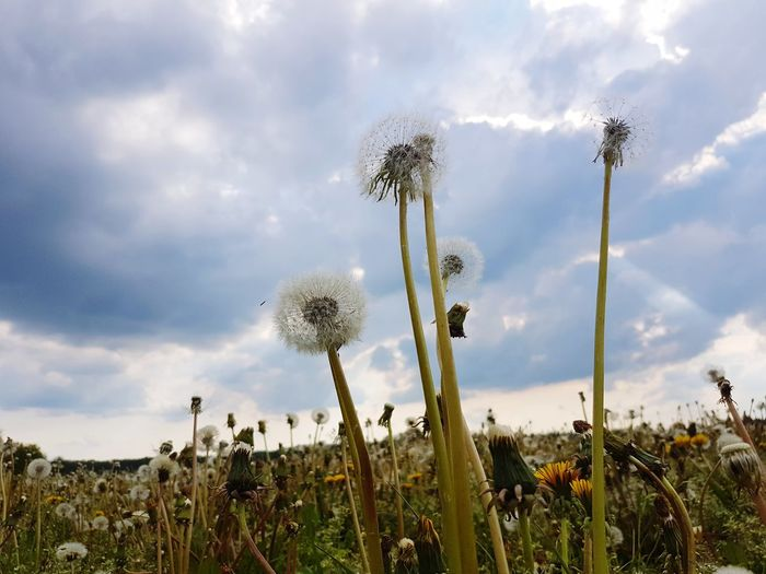 Cloud - Sky Growth Nature Plant Outdoors Sky Landscape Day Beauty In Nature Flower Dandelion Dandelion Collection Dandelion In Spring Dandelion Flower Dandelion Field Pusteblume