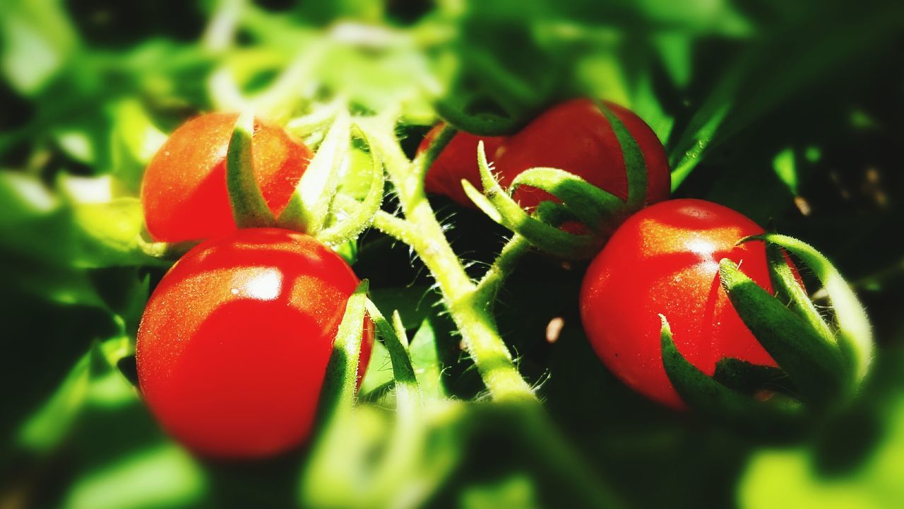 red, green color, food, healthy eating, food and drink, growth, close-up, no people, freshness, tomato, fruit, nature, day, outdoors
