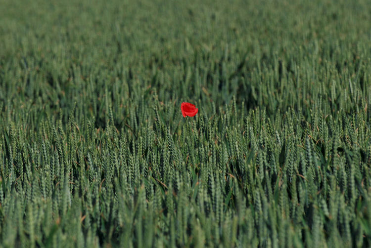 Only one. Poppy, France France Triticum Wheat Agriculture Beauty In Nature Blé, Cereal Plant Day Field Flower Flowering Plant Freshness Green Color Growth Land Landscape Nature No People Only Outdoors Plant Poppy Red Rural Scene Standing Out From The Crowd A New Beginning