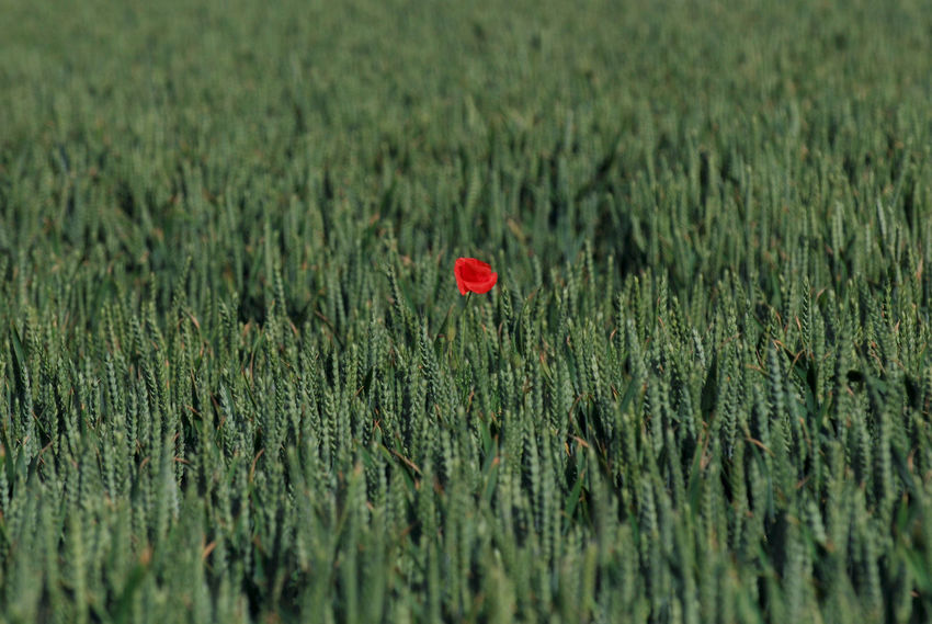 Only one. Poppy, France France Triticum Wheat Agriculture Beauty In Nature Blé, Cereal Plant Day Field Flower Flowering Plant Freshness Green Color Growth Land Landscape Nature No People Only Outdoors Plant Poppy Red Rural Scene Standing Out From The Crowd